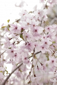 1419049_cherry_blossoms-sakura_1